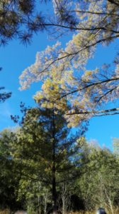 Moncolombone pino strobo